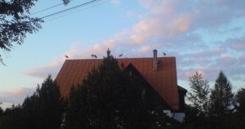 Bociany na dachach domów w Nowej Białej