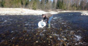 Wpuszczanie pstrąga do rzeki Białki